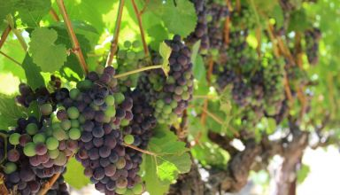 Update on Wine Grape Exemption Status from FSMA