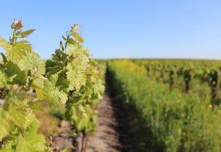 Incorporating Biopesticides in Vineyard IPM Programs
