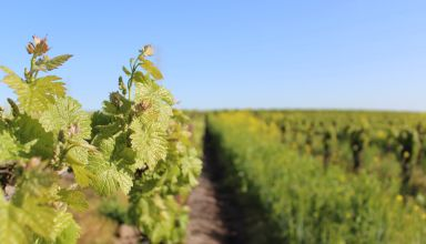 Incorporating Biopesticides in Vineyard IPM Programs