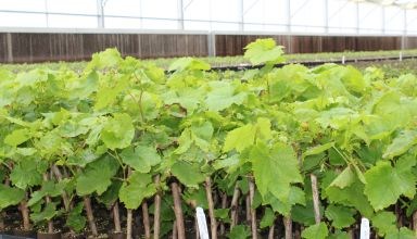 New Nematode Resistant Rootstocks for Grape Growers