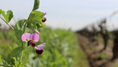 Vineyard Cover Crop Recommendations and Nitrogen Harvest Timing