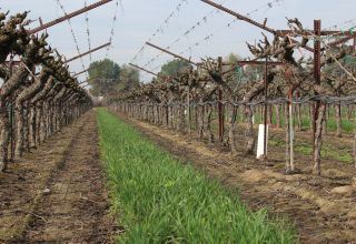 Options for Controlling Nematodes in the Vineyard