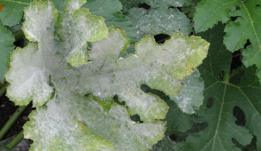Powdery Mildew on Grape Leaves